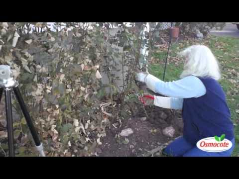Fall Rose Pruning Techniques and Advice