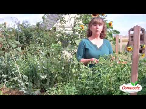 Curling Tomato Leaves: Examination/Treatment Strategies