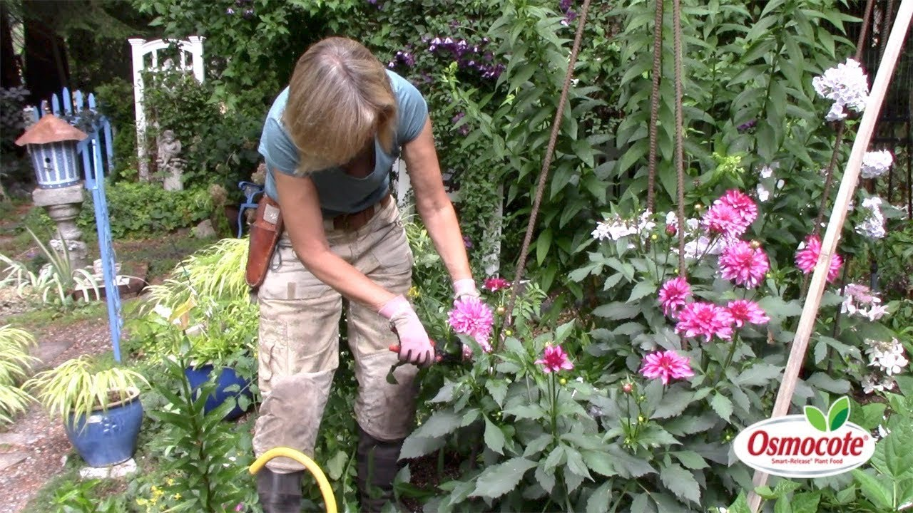 How to Harvest Dahlias to Stimulate Future Growth